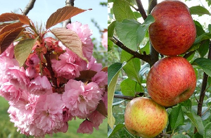 Fruit Trees & Flowering Cherries