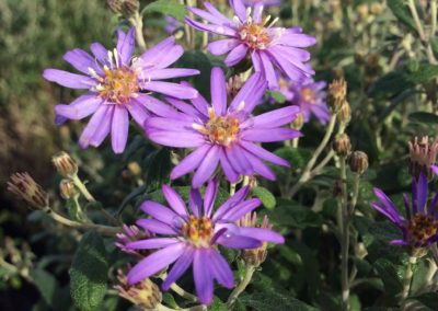 Olearia 'Comber's Blue'